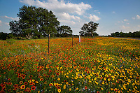 Vivid colorful wildflower field next to a barb wire fence surrounded by stunning Indian Blanket Firewheels and colorful Yellow Daisy Coreopsis; Gaillardia wildflowers next to country road in the Texas Hill Country - Stock Image