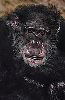 616509009 portrait of a wildlife rescue chimpanzee pan troglodytes- animal came from a medical research facility - species is endangered in its habitat distribution in central africa