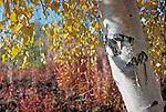 Birch tree in autumn