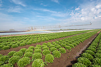 Irrigating salads - Lincolnshire, May