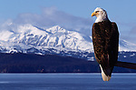 A bald eagle perched on a limb at a bay in Southeast Alaska.