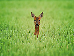 Roe Deer pops it's head up in crops in Lincoln by Andrew Scott