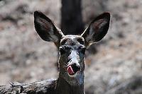 Mule deer doe licking her nose.