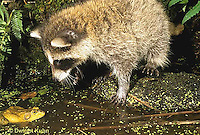 MA23-008x  Raccoon - young animal attempting to catch frog - Procyon lotor