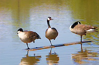 Canada geese practice ballet at an Oakville Ontario pond