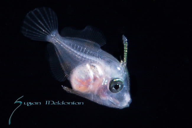 Filefish larva, Gulf Stream Current; Larval pelagic marine creatures; Plankton; SE Florida Atlantic Ocean off Singer Island 5 miles due south.; black water diving; larval fish; pelagic larval marine life; plankton creatures, id Benjamin Victor