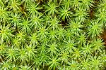Dew covered hair-capped moss (Polytrichum sp.). Caledonian pine forest, Glen Strathfarrar, Scottish Highlands. Scotland. October.