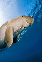 Dugong, Sea Cow, swimming up to the surface to breathe, Egypt, Red Sea, Indian Ocean