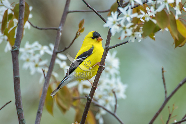 Male American Goldfinch (Spinus tristis) in flowering serviceberry bush.  Great Lakes Region.  May.