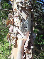 Betula nigra River Birch tree peeling ornamental bark