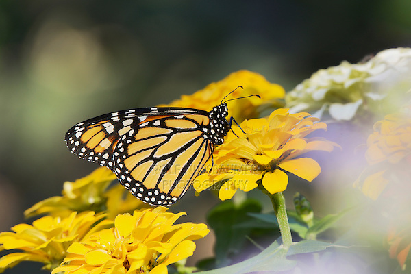 Monarch (Danaus plexippus), adult on zinnia, Hill Country, Texas, USA