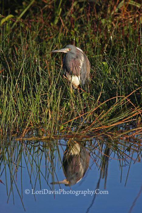 Tricolored Heron with Reflection  #H46