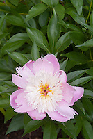 Paeonia suffruticosa peony pink and white perennial 'Bowl of Beauty' in single flower