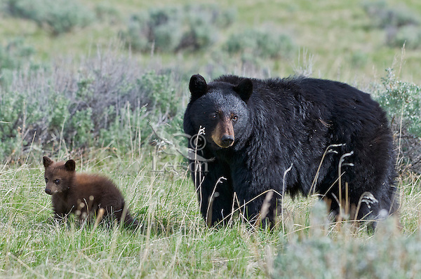 """Wild Black Bear (Ursus americanus) mother with cub (cub is a cinnamon color phase which is quite common).  Western U.S., spring. (These are what are known as """"coys""""--cubs of the year.)"""