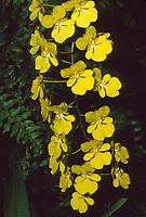 Zelenkoa onusta aka Oncidium onustum 'Everglades', AM/AOS