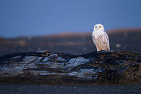 Male Snowy Owl (Bubo scandiacus) at dusk on the Washington coast. This owl made aerial passes at shorebirds and waterfowl over Gray's Harbor. Grays Harbor County, Washington. December.