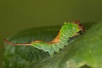 Birken-Gabelschwanz, Raupe, Birkengabelschwanz, Furcula bicuspis, Cerura bicuspis, Harpyia bicuspis, alder kitten, caterpillar, La Harpye bicuspide, Zahnspinner, Notodontidae, prominents