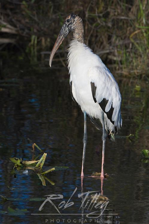 USA, Florida, Everglades NP, Wood Stork