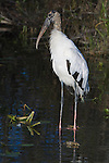 USA, Florida, Everglades NP, Wood Stork