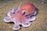 Atlantic deep sea octopus, Bathypolypus arcticus ( cr ), Massachusetts Bay, USA, Atlantic Ocean