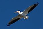 White Pelican in Flight, American White Pelican, Sepulveda Wildlife Refuge, Southern California