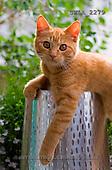 Carl, ANIMALS, photos(SWLA2279,#A#) Katzen, gatos