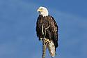 00370-014.06 Bald Eagle (DIGITAL) adult is perched on dead tree against blue sky.  Bird of prey, raptor, predator, bird, birding.  H4F1