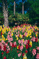 A field of Snapdragons (Antirrhinum majus).