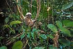 Gray Gibbon, Sarawak, Borneo, Malaysia
