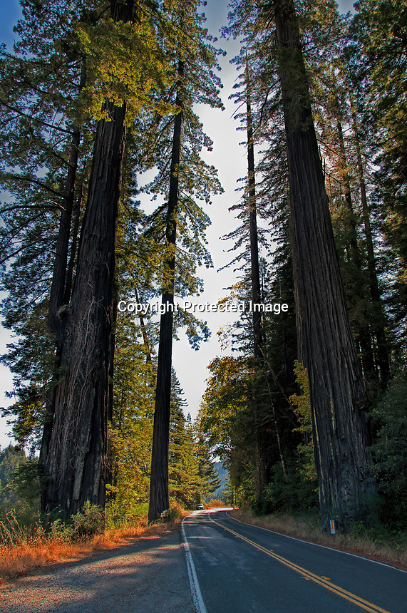 A beautiful day in the fall at Humbolt Redwood State Park, California. Looking down the Avenue of the Giants scenic route.