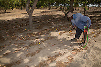Cashew Nut Farmer Picking up Cashew Apples with Nuts.  Fruit must not be picked from the tree, but rather collected after falling to the ground.  Near Sokone, Senegal.  This is an example of a well-tended field, with no underbrush, and with low branches pruned from the trees, allowing easy movement under the trees.