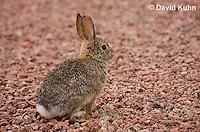 0717-1001  Desert Cottontail Rabbit (Audubons Cottontail), Sylvilagus audubonii  © David Kuhn/Dwight Kuhn Photography