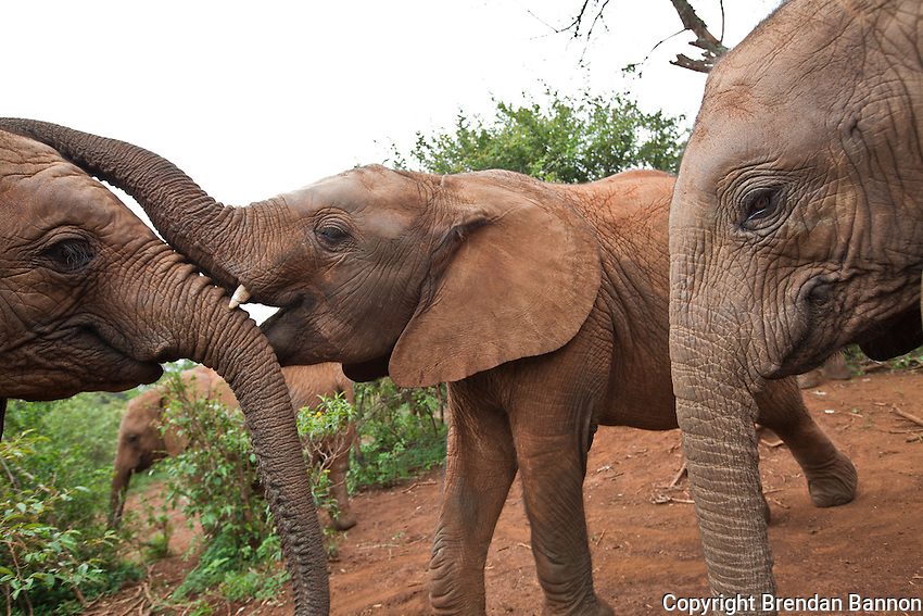 Orphaned baby elephants play at the David Sheldrick Wildlife Trust in Nairobi National Park. The elephants range in age from  six months to three years. When one lies  down the others pile on playfully.