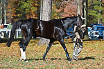 07 November2010:  Expel (Best Turned Out) before winning the Madison Plate at Montpelier Hunt Races in Montpelier Station, Va. Expel is owned by Northfield Farm and trained by Edward Mulligan.     Susan M. Carter/Eclipse Sportswire