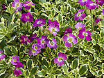 Variegated Red Rockcress, Aubretia deltoidea