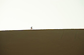 Ica, Peru. Sand boarder walks along ridge at top of sand dune with sand board. No MR. ID: AL-peru.