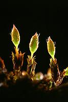 Stein-Goldhaarmoos, Orthotrichum anomalum
