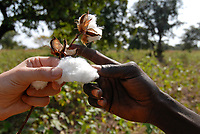 MALI , Bougouni, organic and fair trade cotton project, black and white hand holding cotton / Projekt oekologischer Anbau und Fairtrade Baumwolle, Europaeer und Afrikaner halten Baumwolle