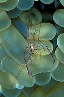 bubble coral shrimp, Vir philippinensis, Saudia Arabia, Red Sea