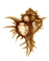 Xray Murex endiva shell sepia
