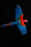 Red-and-green macaw (Ara chloropterus)<br /> Buraco das Araras, Brazil<br /> Bathed in early morning light a macaw flies within one of the largest sink holes in the world.  The dark background is a shaded wall.  Over a hundred species of birds make this vast sinkhole home.