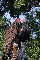 Turkey Vultures, Texas