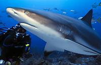 scuba diver and Caribbean reef shark, Carcharhinus perezii, Roatan, Honduras, Caribbean, Atlantic