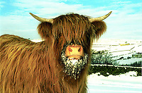Alfred Green (Mike's dad) Holmfirth, Yorks. Highland cattle. Snow. Fodder. Heifer.