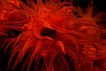 Anemones, Feather Dusters & Crinoids