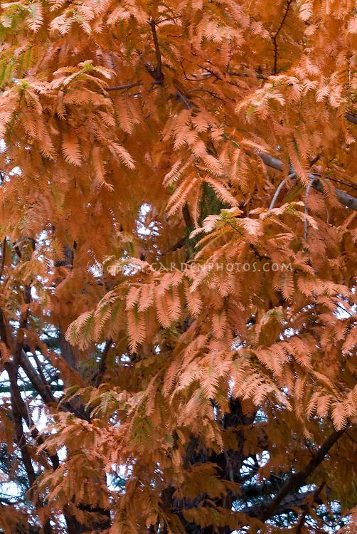 Metasequoia glyptostroboides 'Ogon' in fall foliage autumn color (Dawn Redwood Trees)