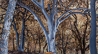 Burned Oak trees with ashen trunks; Fire damage and recovery from Nuns fire October 2017, Sonoma Valley Regional Park, California