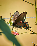 Pipevine Swallowtail Butterfly. Image taken with a Nikon 1 V3 camera and 70-300 mm VR lens.