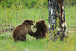 Two grizzly cubs play fighting in Grand Teton National Park, WY