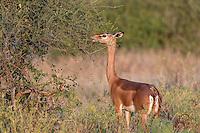 Female Gerenuk (Litocranius walleri) feeding on Acacia in morning light, Samburu